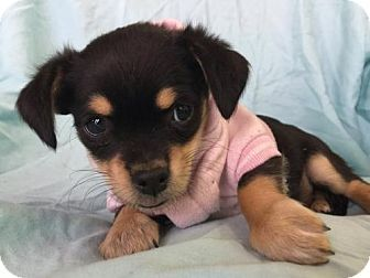 Poppy Is A 9 Week Old Daucshund Mix Puppy Who Is Ready For
