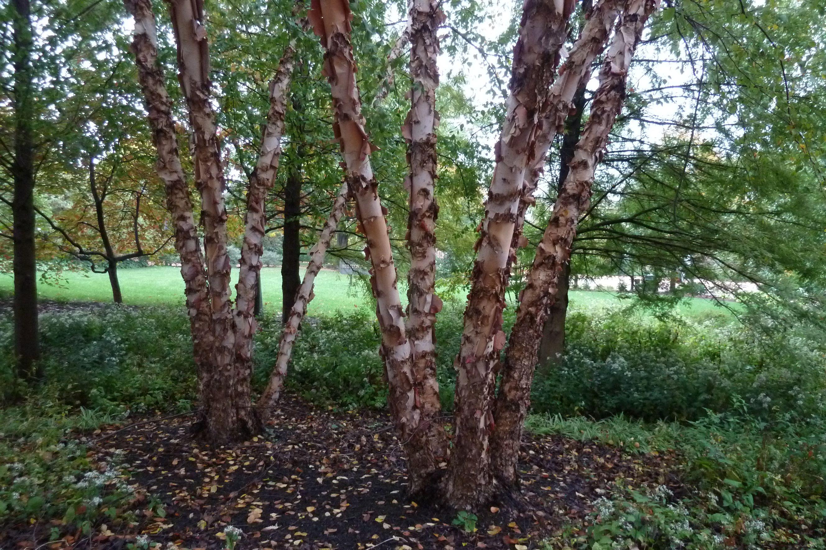 Betula nigra \'heritage\' | Betula nigra, Garden trees and Shrub