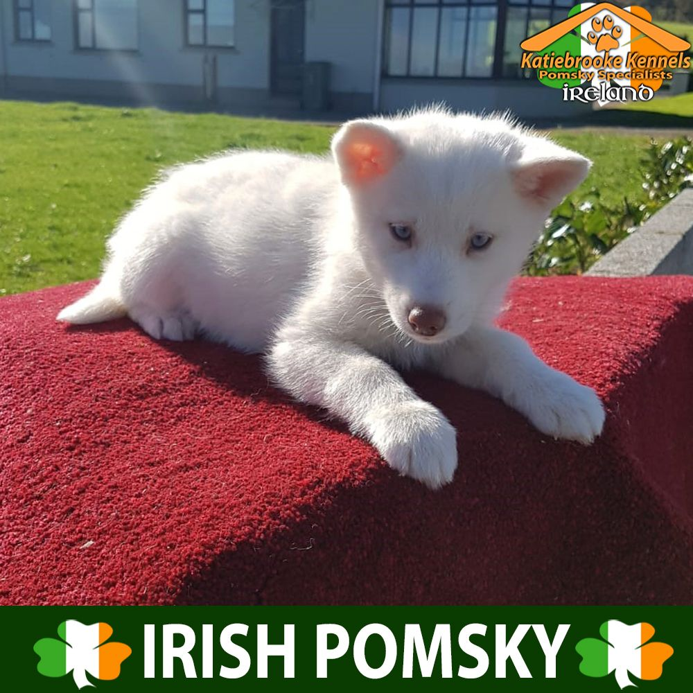 Reduced Price X Delivery Uk 27th October X Message For Details X Blue Eyes F1 Pomsky Puppy Bi Puppies For Sale Pomsky Puppies For Sale