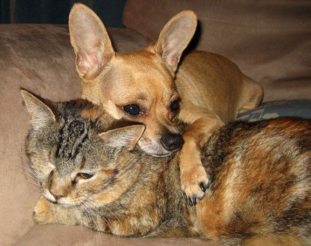 This Looks Like My Chihuahua Bella And What My Kitten Will Look