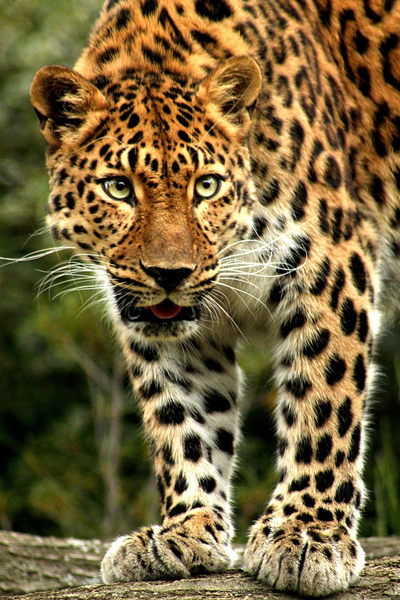 Amur leopard facts image en 2020 | Animales salvajes, Stuffed ...