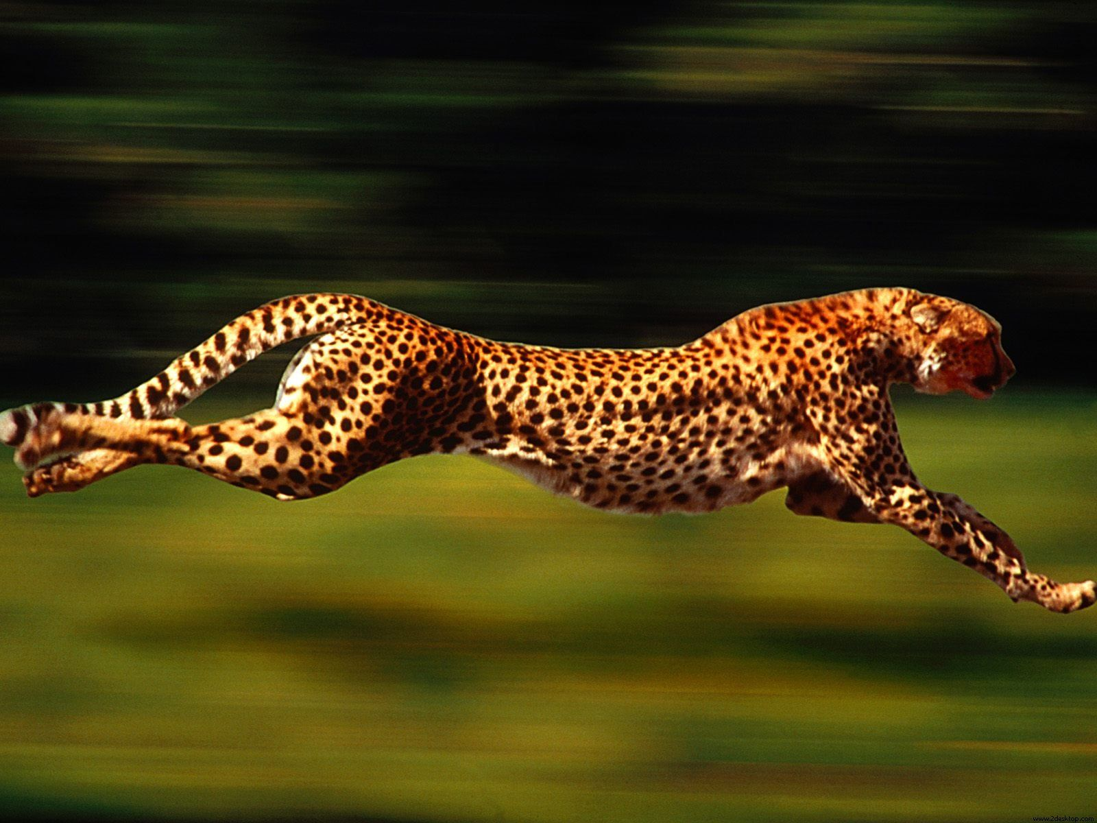 The cheetah can run faster than any other land animal— as fast as 112 to