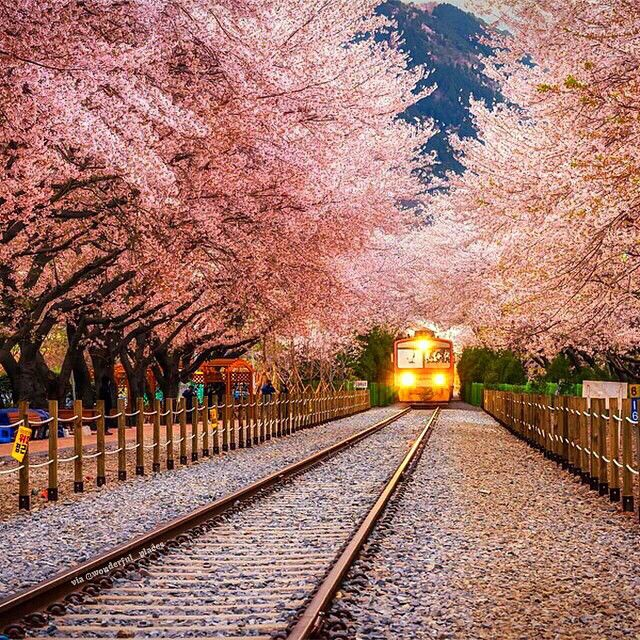 Good Morning Beautiful Korean : Cherry blossom in south korea picture aaron choi good