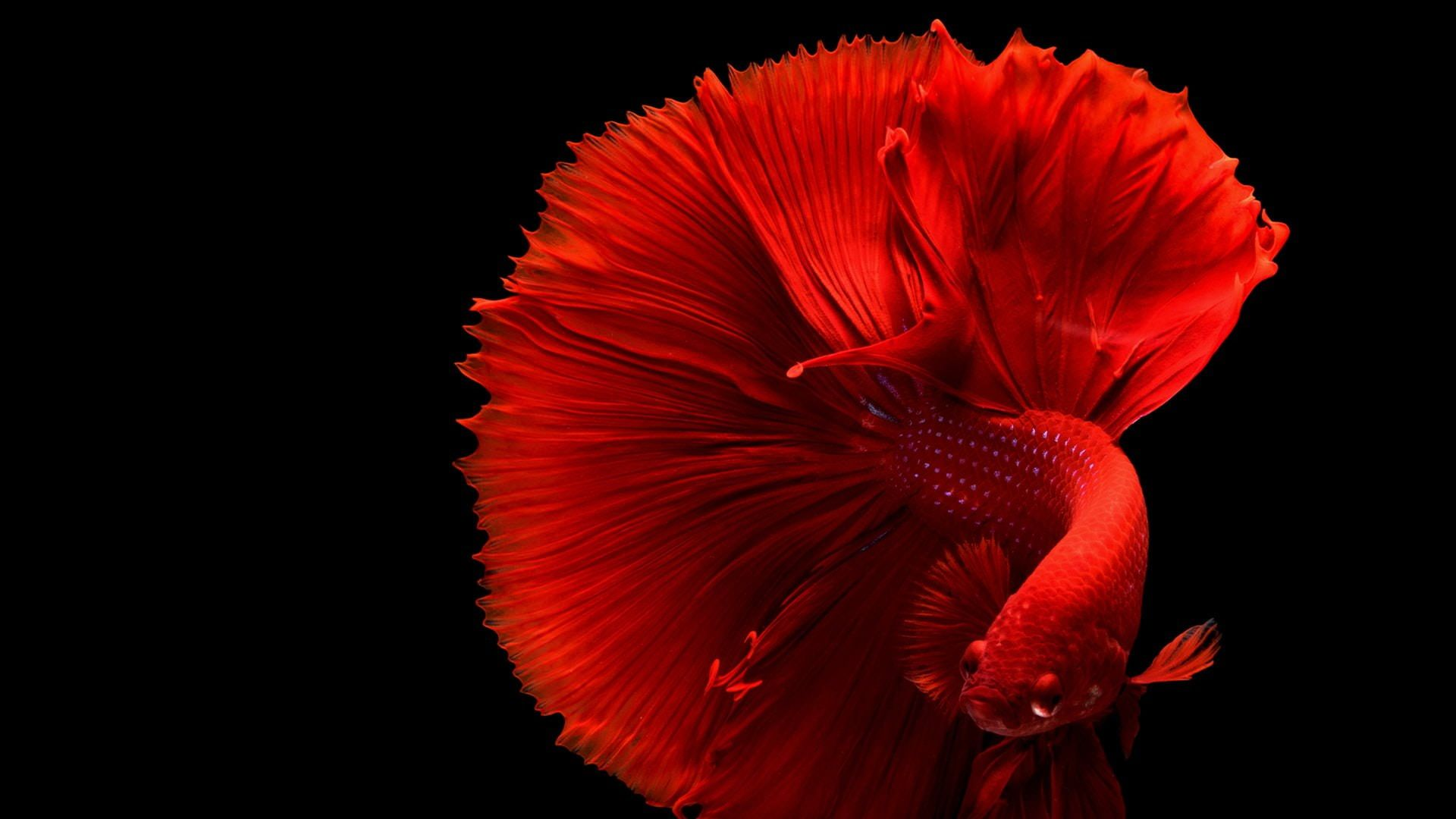 Red Betta Fish 1080p Wallpaper Hdwallpaper Desktop In 2020 Siamese Fighting Fish Betta Fish Care Betta Fish