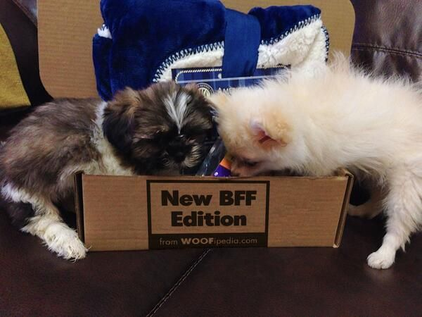 """BEST DAY EVER"" for these pups :) ... they love their new BFF Box! http://www.akc.org/offer/bffbox_social.cfm"