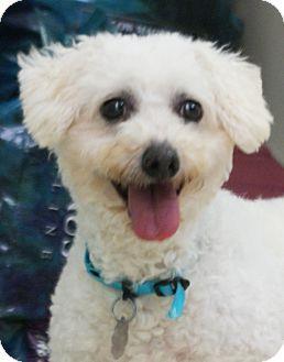 New Freedom Pa Bichon Frise Meet Lauren A Dog For Adoption Http Www Adoptapet Com Pet 11255496 New Freedom Pennsylvani Dog Adoption Bichon Frise Bichon