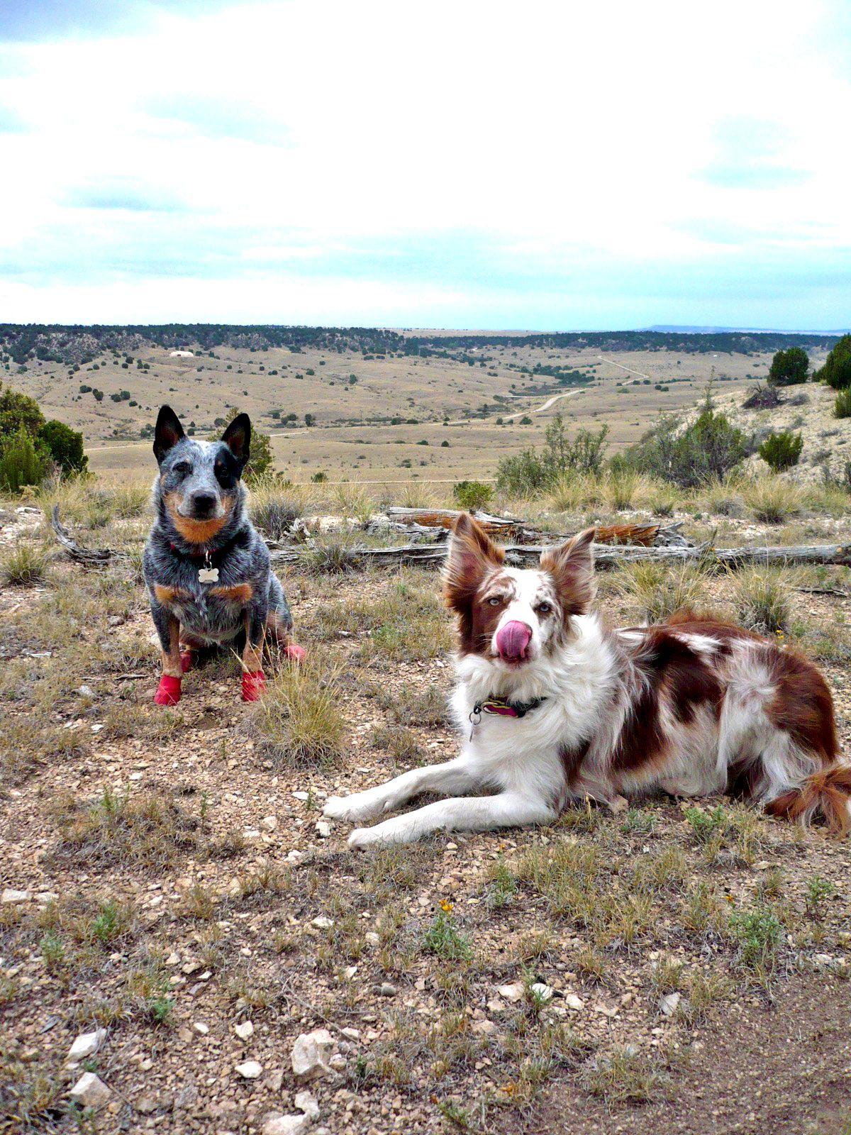 Colorado Dreamin Herding Dogs Red Heeler Dog Pets