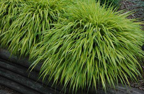 Ornamental grass hakonechloa macro aureola shade tolerant out ornamental grass hakonechloa macro aureola shade tolerant workwithnaturefo