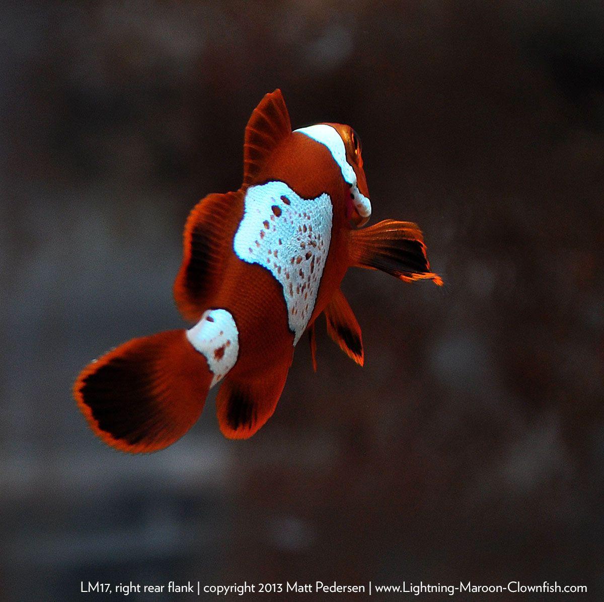 gold lightning maroon clownfish