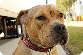 San Diego Ca English Bulldog Staffordshire Bull Terrier Mix
