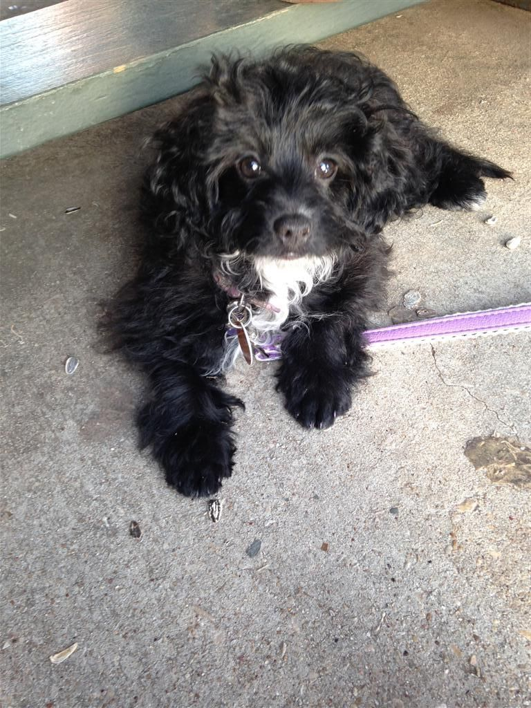 Lost dog poodle fort worth tx united states 76111