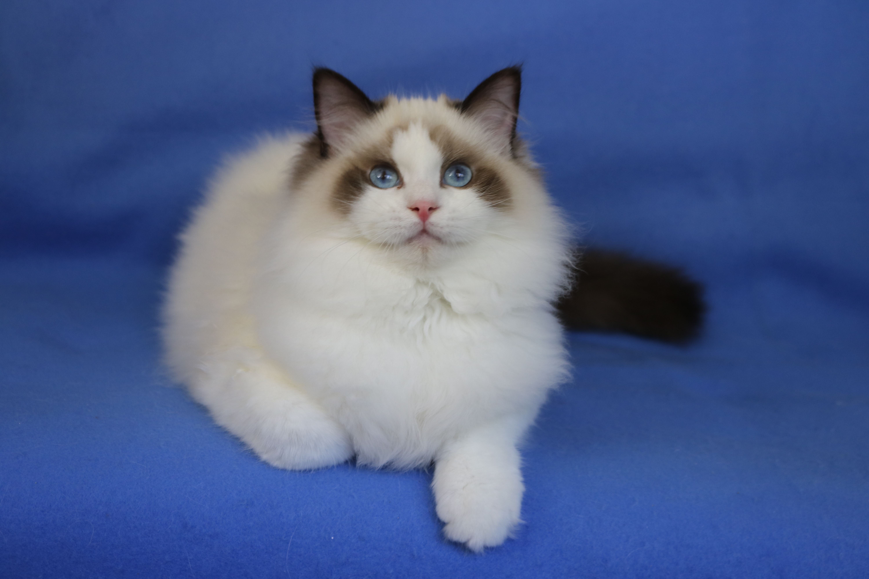 Seal Bicolor Boy Ragdoll Super Cuddly And Sweet Love This Baby Www Rockcreekranchragdolls Com Cat Pics Ragdoll Cat Cute Animals