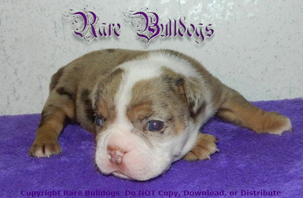 Available Soon Akc Chocolate Tri Merle English Bulldog Boy Meet
