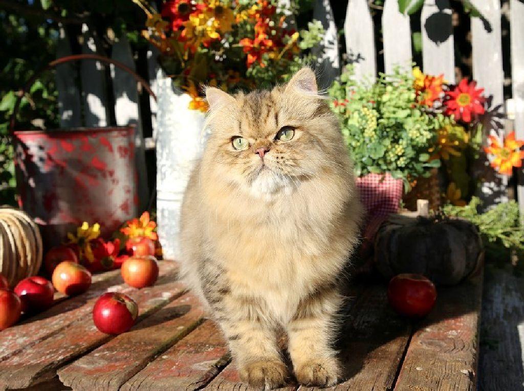 Stunning Gold Persian Kitten Persian Kittens Kittens Stunning Gold