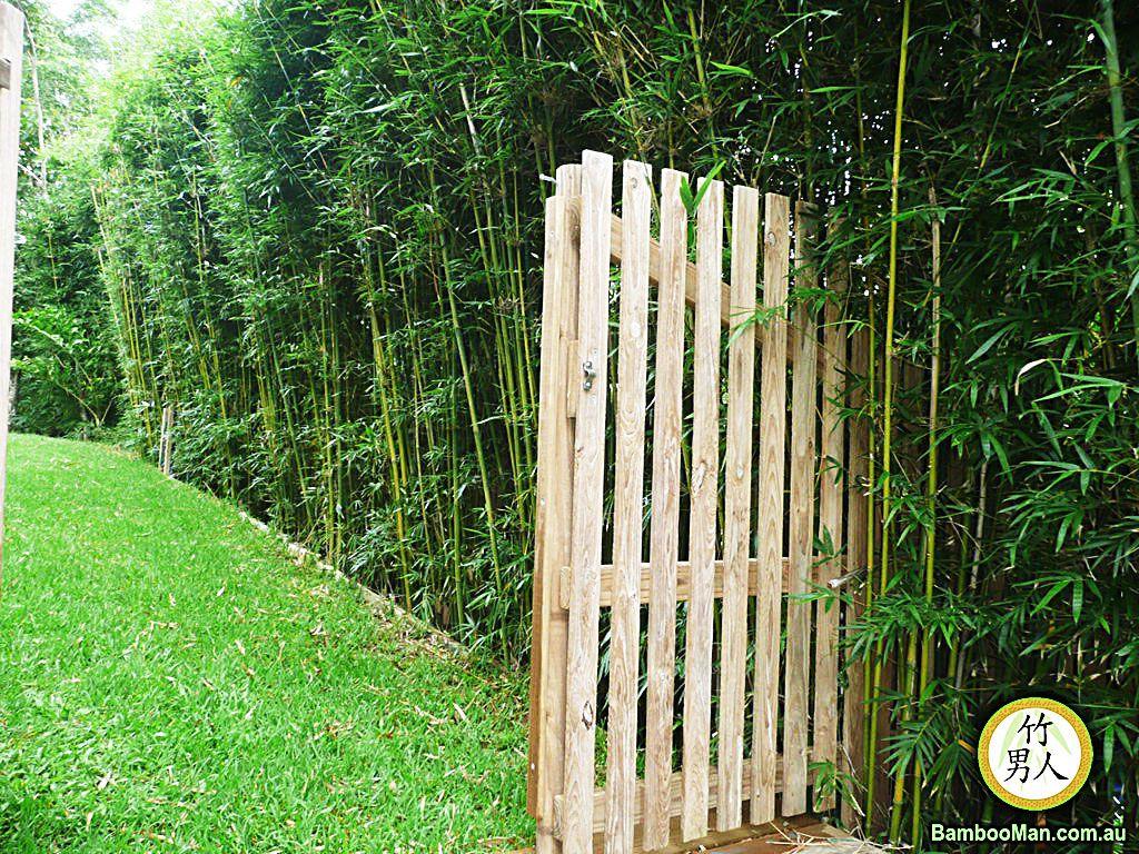 Cerco Bambu Alto Cercos Pinterest Bamb Alto Y Cercos Vivos ~ Cañas De Bambu Verdes Para Decorar