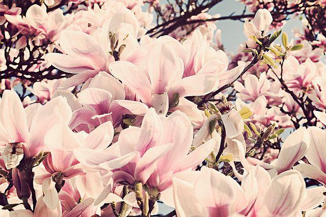 Magnolia Flower Power Magnolia Plants