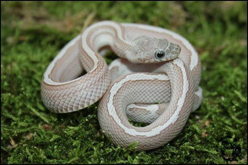 Amber Cinder Motley Schlange Zeichnung Schlange Reptilien
