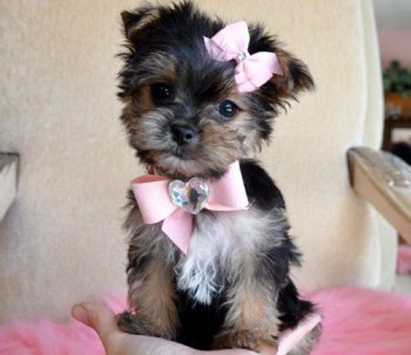 Fantastic Terrier Bow Adorable Dog - 4359736325f1c777db54a13f0d03e811  Perfect Image Reference_793269  .jpg