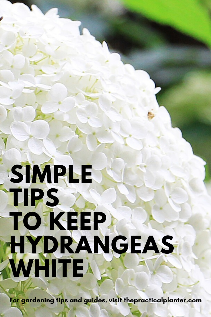 How To Keep Hydrangeas White With Simple Care Tips In 2020 Growing Hydrangeas White Hydrangea Garden White Hydrangea