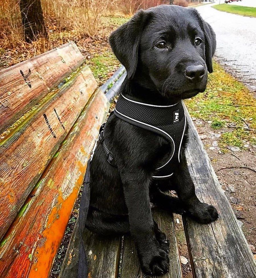 Adorable Lab Puppy Via Marleymeanslove On Instagram Cute Baby Animals Cute Animals Puppies