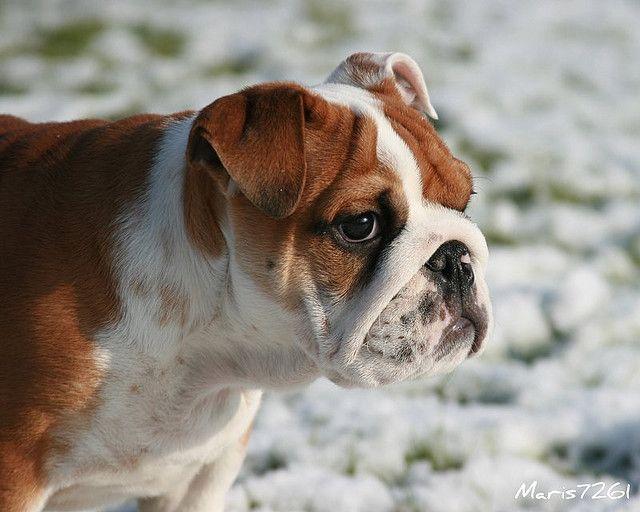 Diesel 2 Cute Animals Cute Puppies Boxer Bulldog