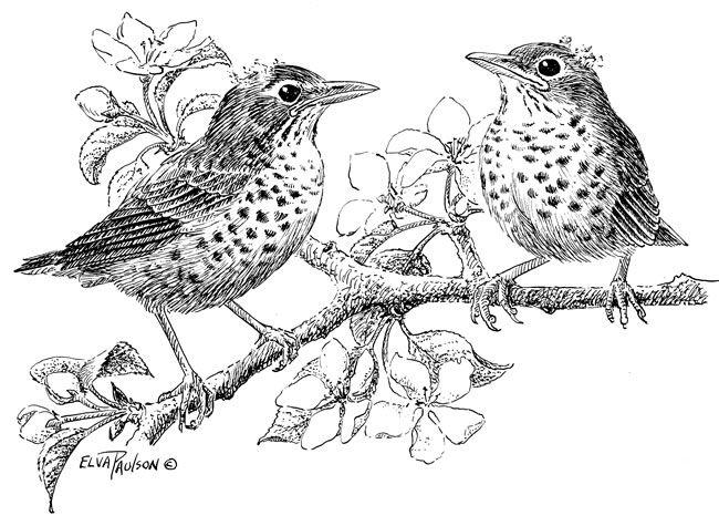 Juvenile American Robin By Elva Paulson