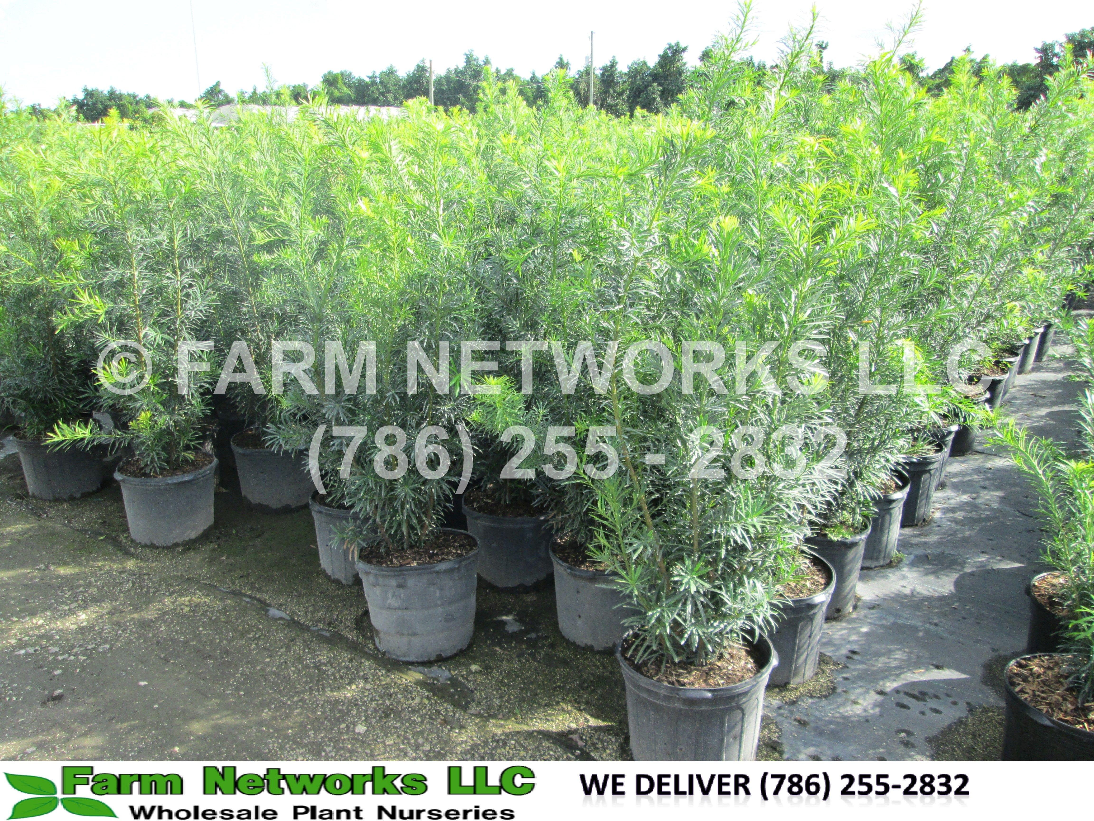 5 Gallon Podocarpus