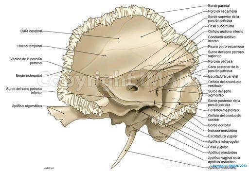 Hueso temporal: Porción petrosa, Apófisis mastoides,  Orificio auditivo interno, Fosa yugular, Apófisis estiloides