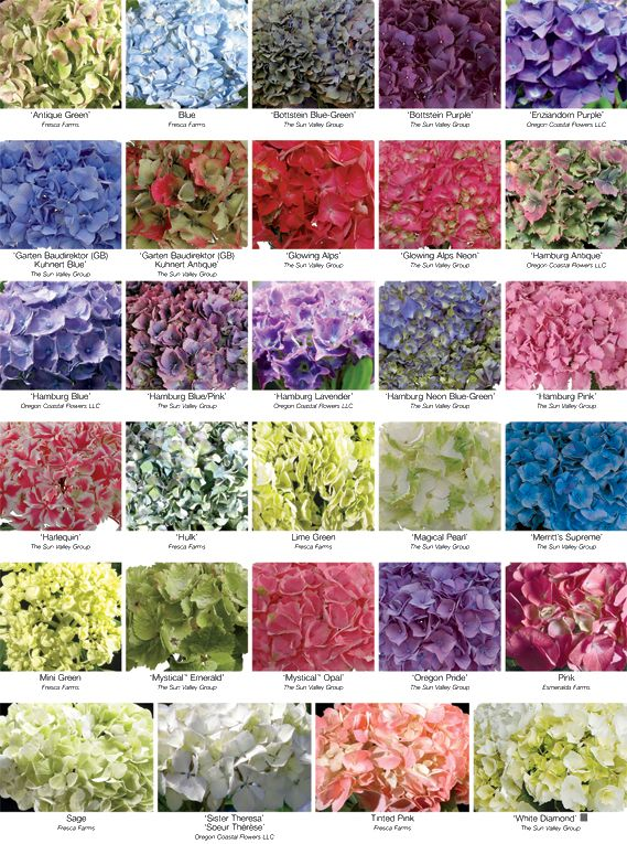 These Fashionable Blooms Are Favorites Of Florists And Consumers Alike Big Heads Pronounce Hydrangea Colors Wedding Flowers Blue Hydrangea Hydrangea Varieties