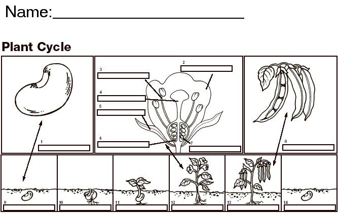 Labeled Bean Seed Diagram Sketch Coloring Page