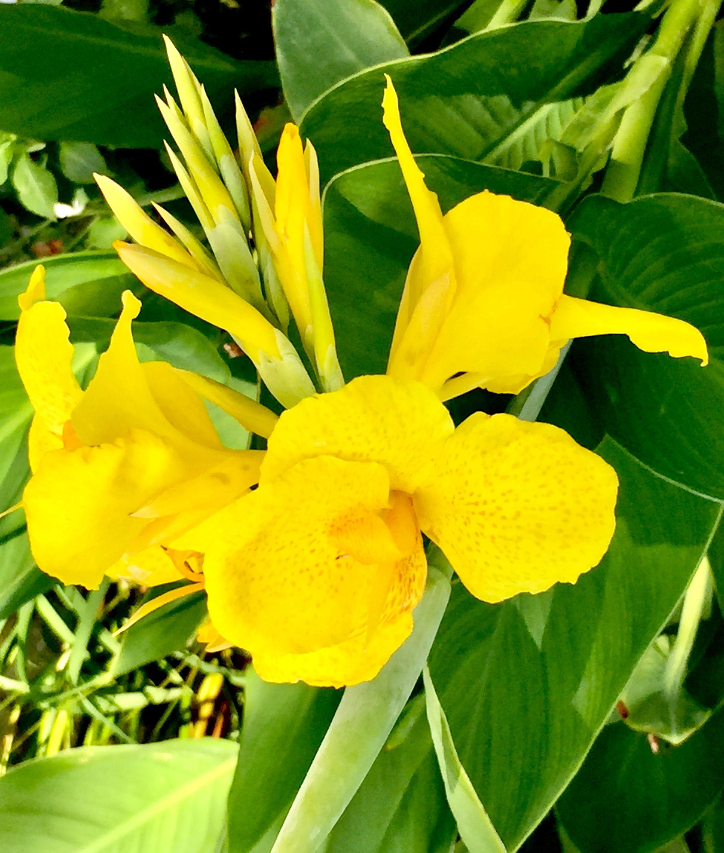 Fiori Gialli Da Giardino.Yellow Flowers Canna Indica Gialla Fiori Giardino