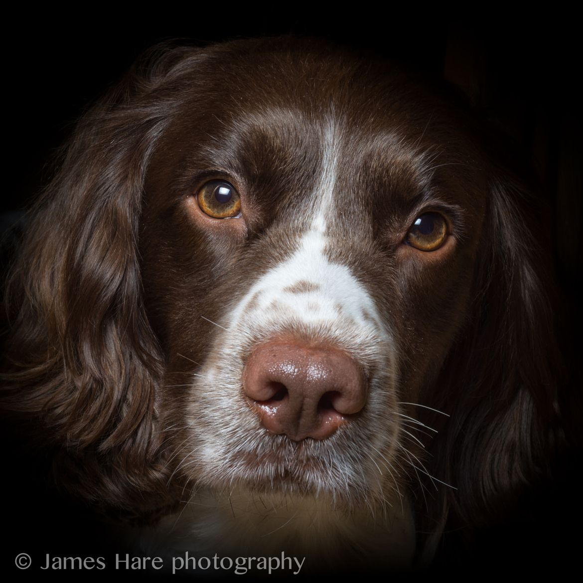Photograph Springer Spaniel by James Hare on 500px