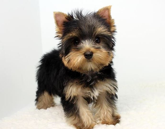 Pin By Helen Urbis On Yorke Dogs Teacup Puppies Maltese Yorkie Puppy Yorkie