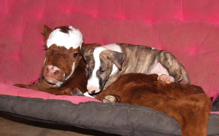This Little Cow Is Super Great Friends With All Of These Dogs And It's So Incredibly Cute