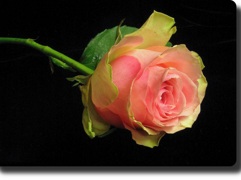 Pink Peach Rose Desktop Wallpaper 1024x768 Plants