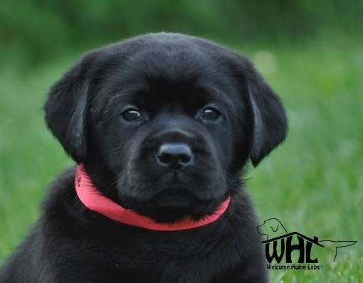 Labrador Puppies For Sale Mn Lab Puppies Minneapolis Lab Pups