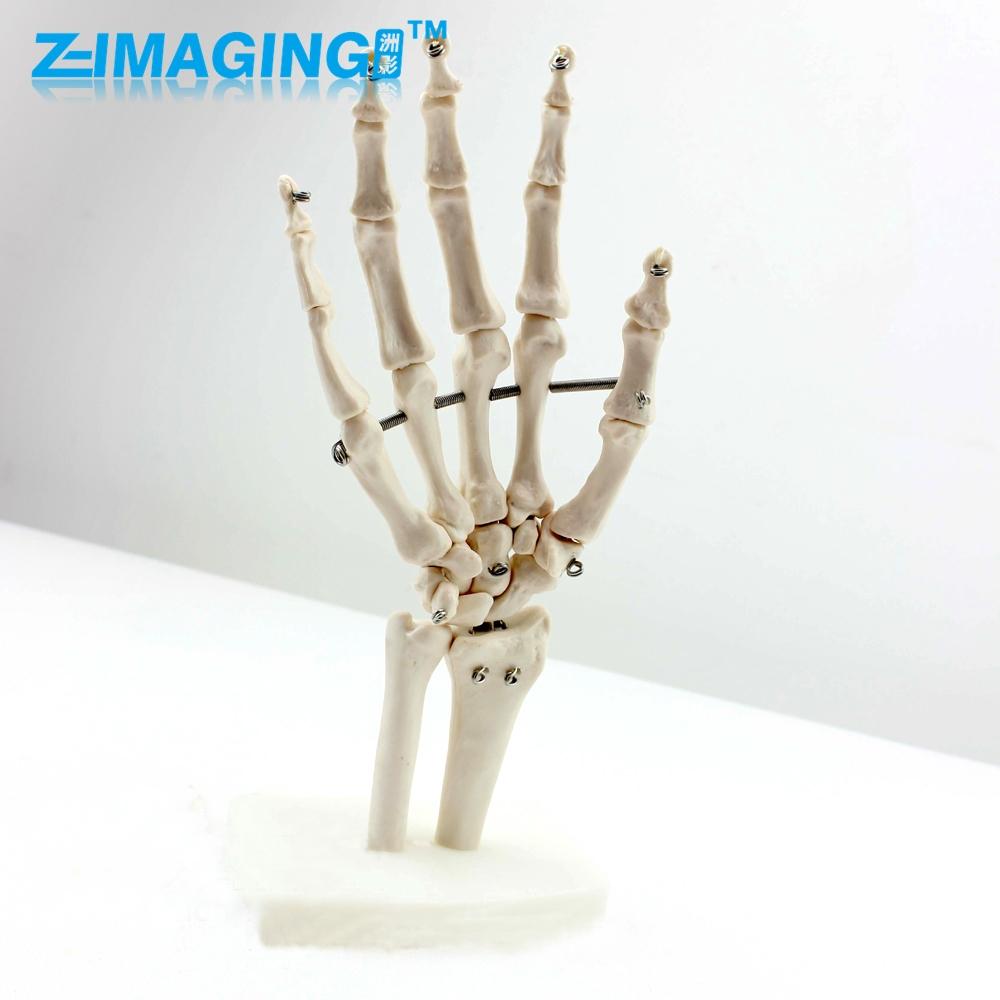 69.44$ Watch here - Human hand joint model human skeleton hand bone ...