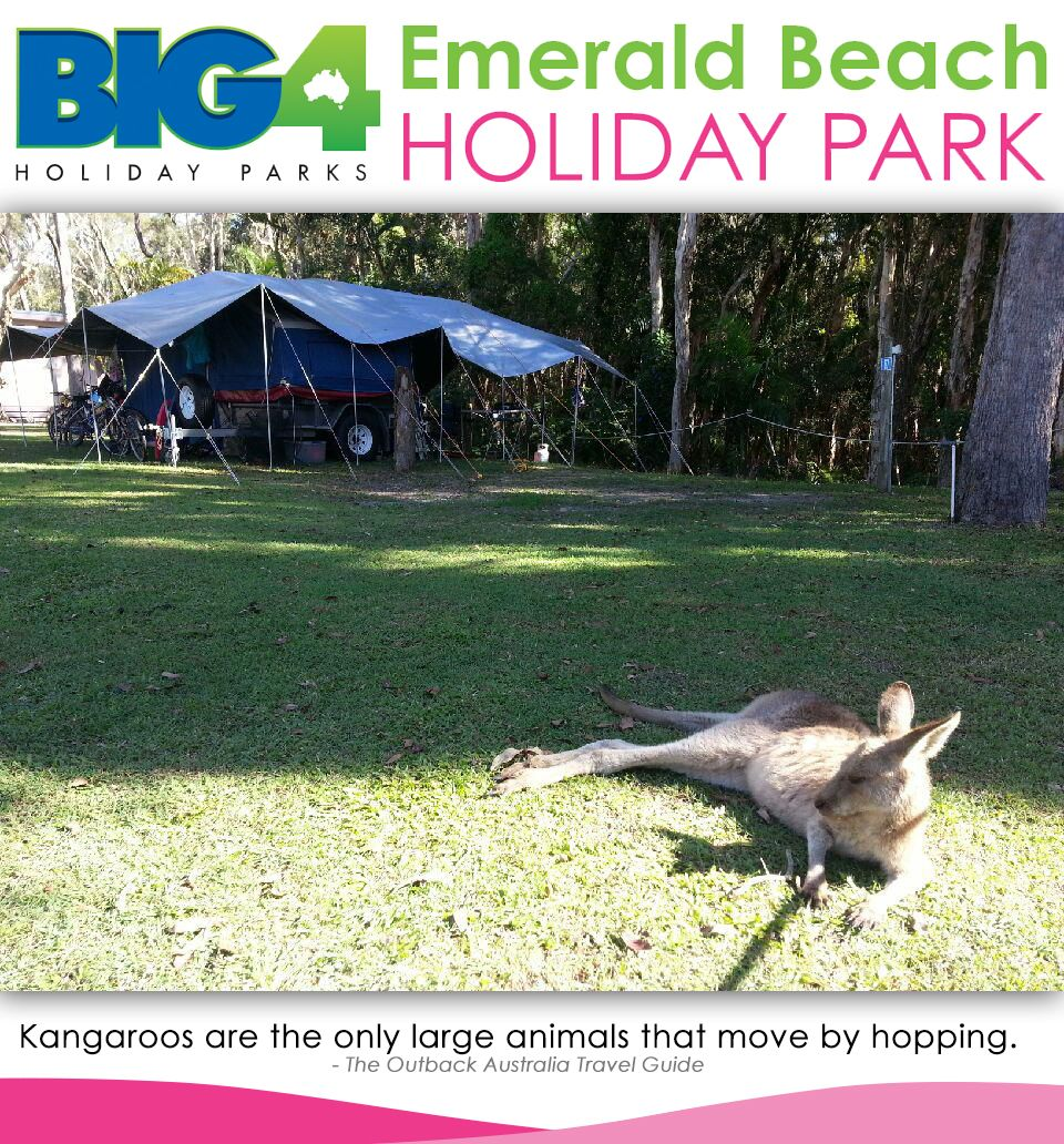 #Kangaroos!  Stay. Play. Save. Go to: www.ebhp.com.au Freecall: 1800 681 521 International: +61 2 6656 1521  #EBHP #EmeraldBeach #EmeraldBeachHolidayPark #beachfront #villa #cabin #camping