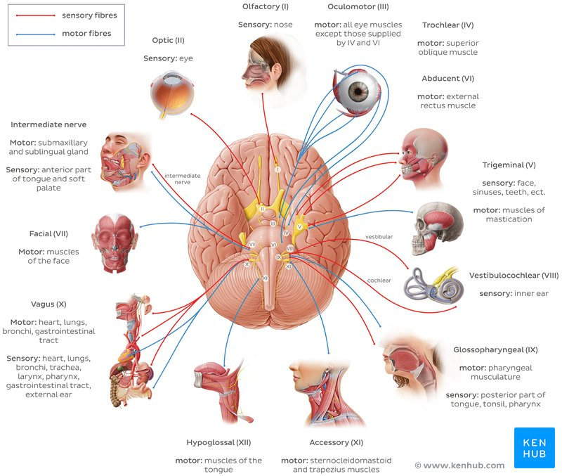 Cranial Nerve Google Search In 2020 Cranial Nerves Cranial Nerves Anatomy Nerve Anatomy