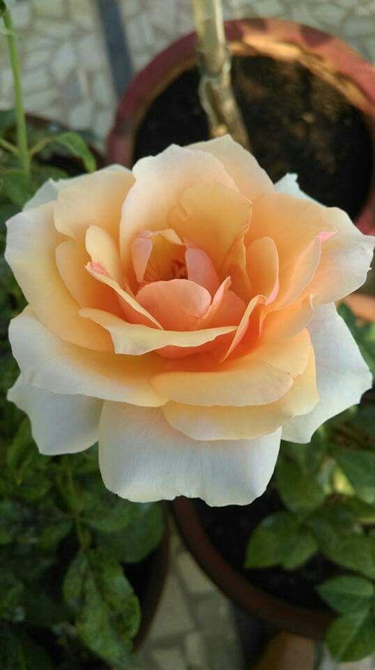 Yellow rose...