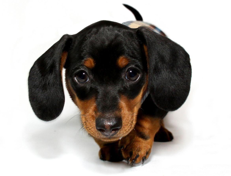 Panchito Dachshund Puppies Mini Dachshund Teacup Dachshund