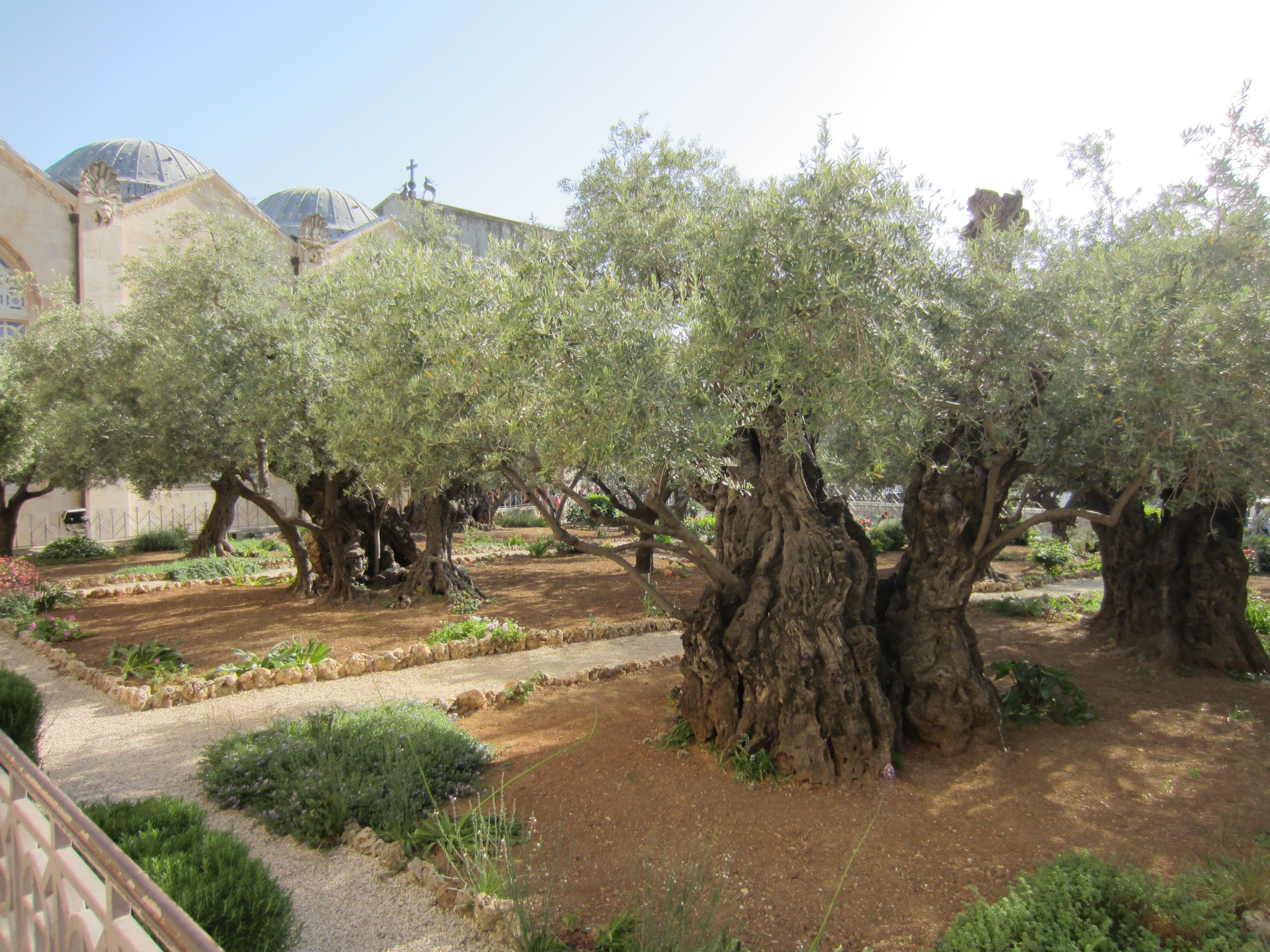 The olive trees in the garden of gethsemane where jesus for Age olive trees garden gethsemane