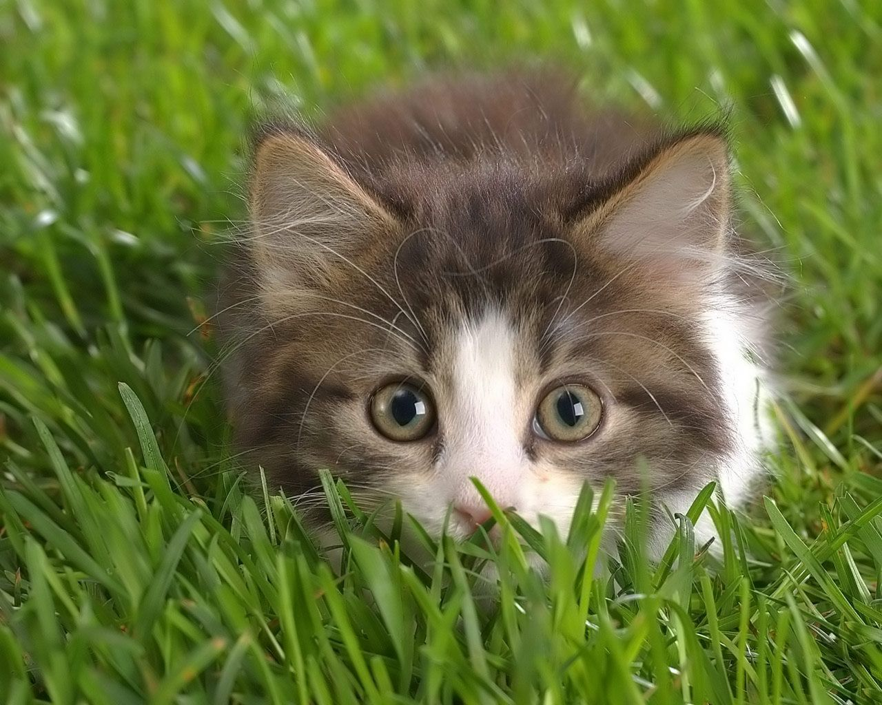 Cat breeds maine coon free wallpaper in free pet category Cat