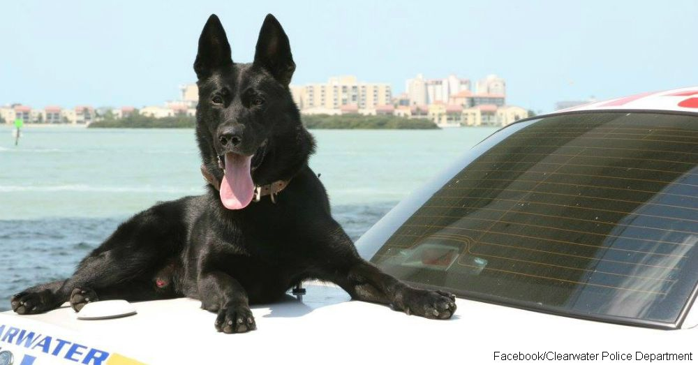 A Touching Tribute To K 9 Officer Major From Clearwater Florida Working Dogs War Dogs Best Dogs