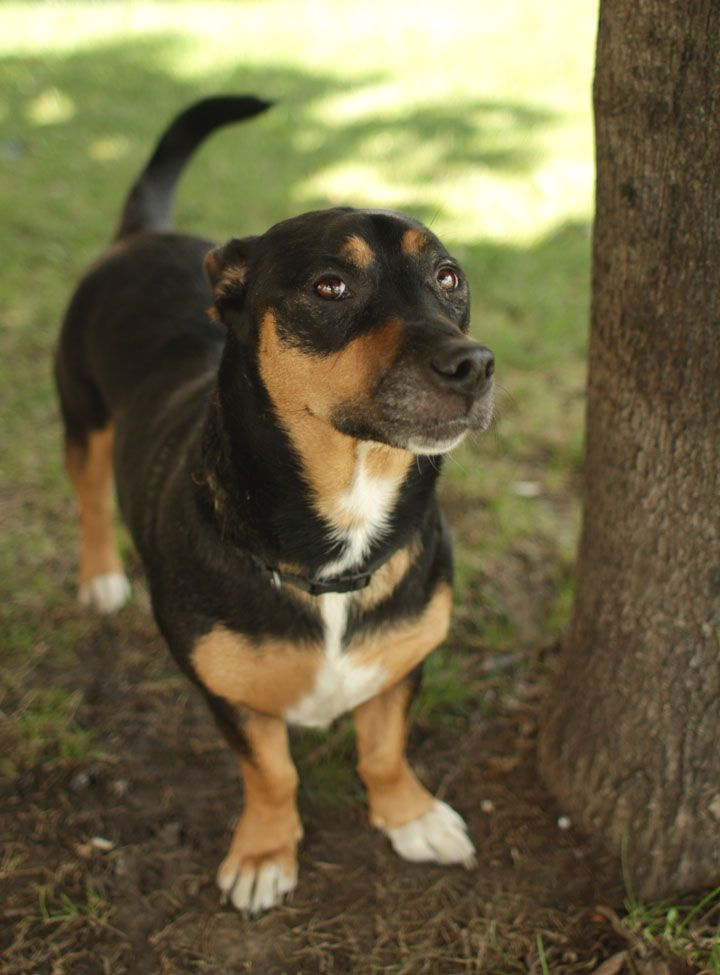 Mia Beagle Rottweiler Mix That Face Looks Just Like My Ricky