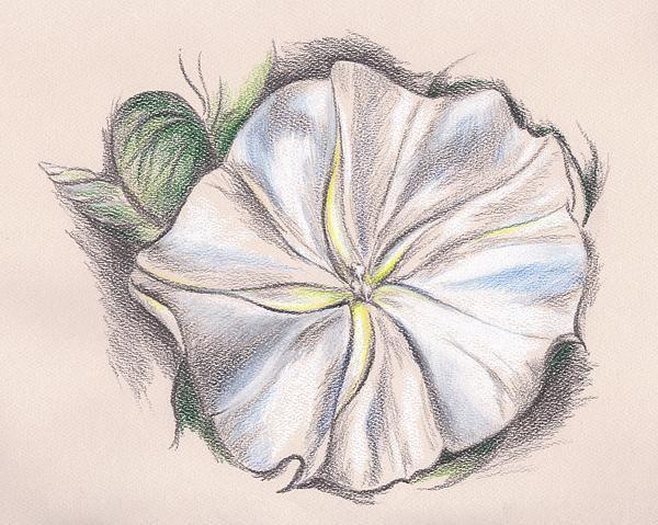 Moonflower Drawing By Andersondesigns Artwork Flowers