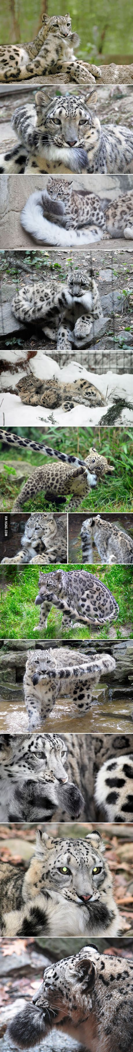 If you are having a bad day, just look at these pictures of snow leopards nomming on their fluffy tails!   Cute animals, Animals beautiful, Cute funny animals