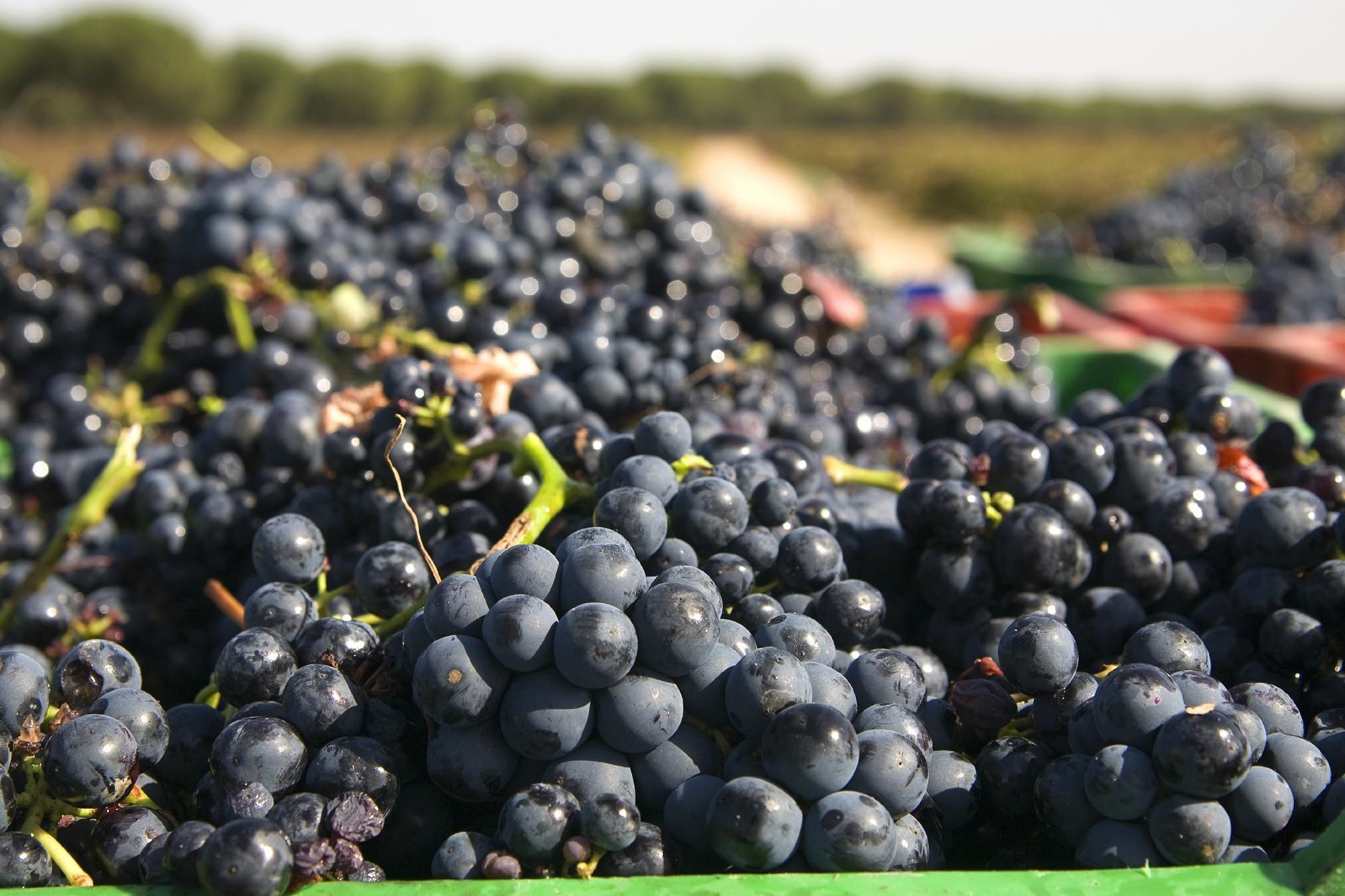 Vineyards at Abadia Retuerta Le Domaine Hotel, Sardon de Duero, Spain