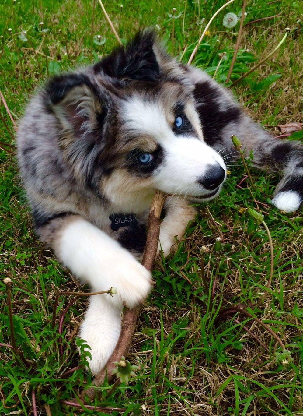 Husky/ Australian Shepherd Rescue Puppy | Rescue puppies ...