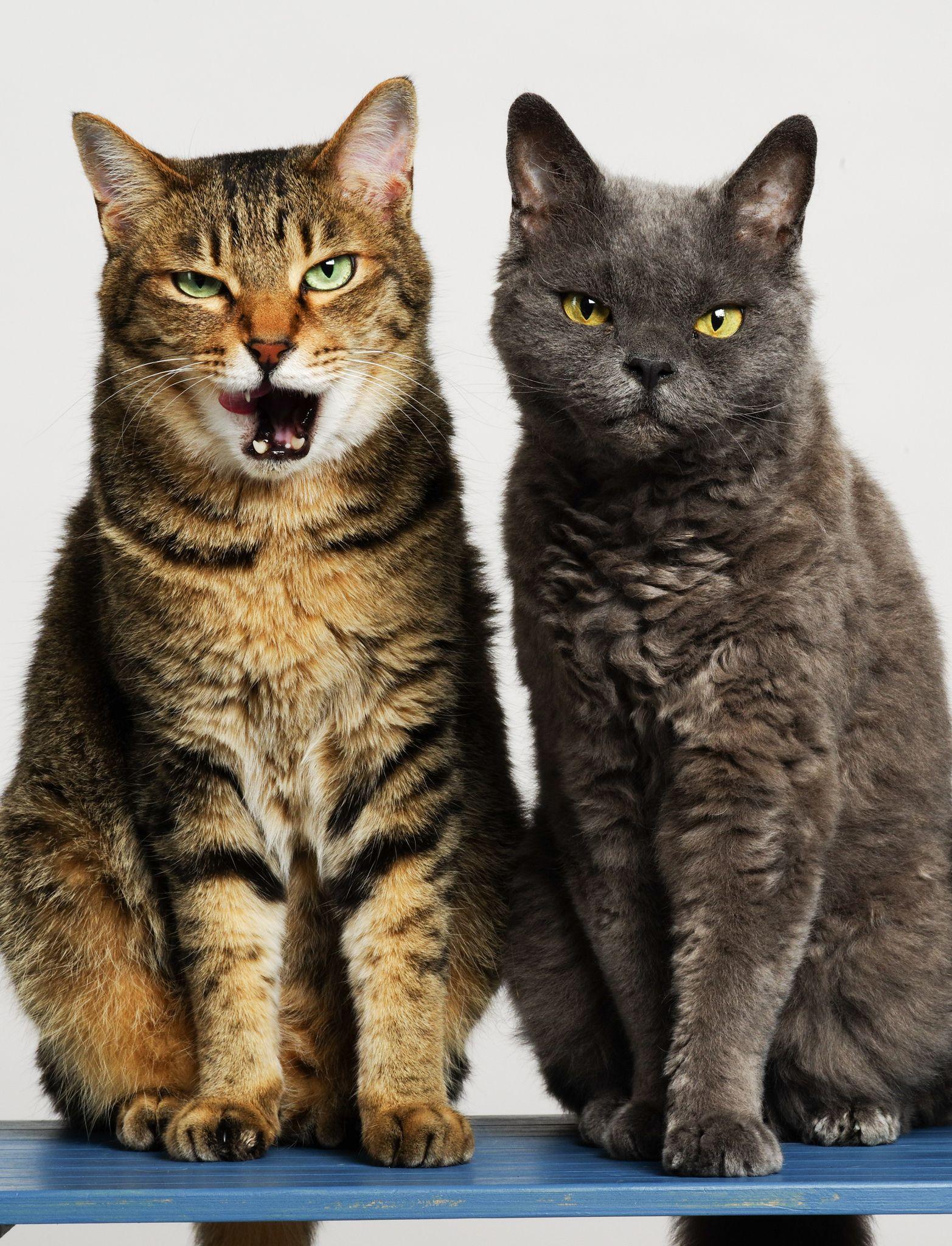 Gangsta Animals Cat Portraits Beautiful Cats